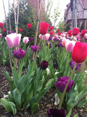 Tulips in Biltmore Village, Asheville, May 2012.